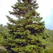 Abies Chephalonica1