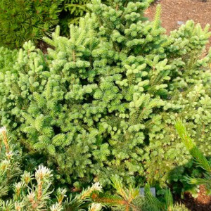 Abies-balsamea-Bear-Swamp