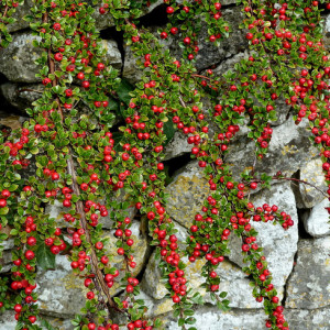 Cotoneaster-31