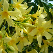 Nerium-oleander-yellow