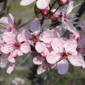 Prunus cerasifera 'Hollywood'