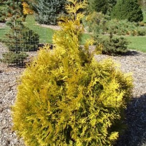 Thuja occidentalis 'Holmstrup Yellow'