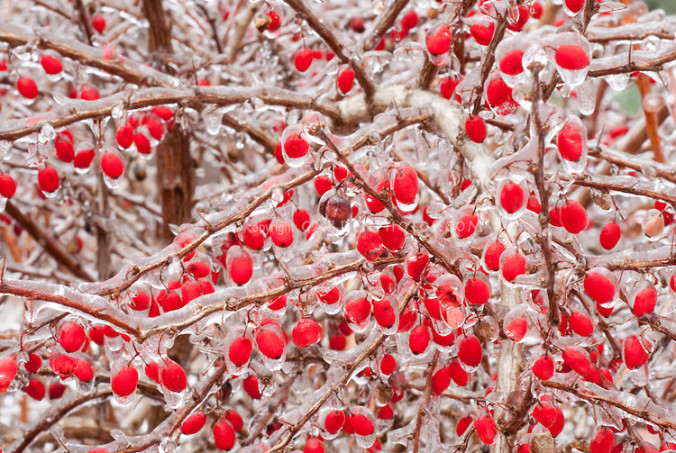 Euonymus alatus - fruit, ice in winter snow