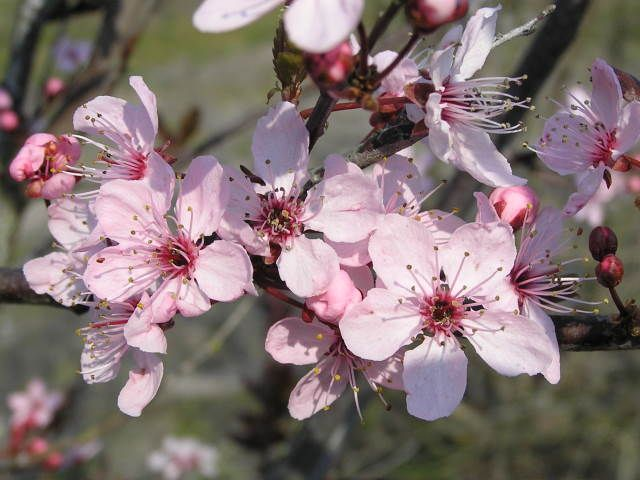 Prunus-cerasifera-Hollywood